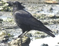 까마귀 Carrion Crow