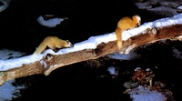 담비 (yellow marten/Martes melampus)