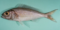 Pristipomoides auricilla, Goldflag jobfish: fisheries, gamefish