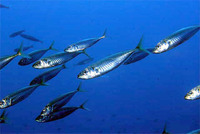 Trachurus trachurus, Atlantic horse mackerel: fisheries, gamefish, bait