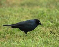 Image of: Euphagus cyanocephalus (Brewer's blackbird)