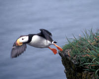 Image of: Fratercula corniculata (horned puffin)