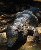 Image of: Crocodylus mindorensis (Philippine crocodile)
