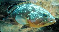 Epinephelus marginatus - Duskey Grouper