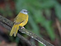 Gray-headed Tanager (Eucometis penicillata) photo