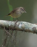 Palm Warbler (Dendroica palmarum) photo