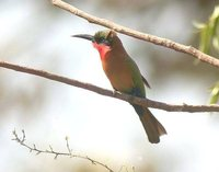Red-throated Bee-eater - Merops bulocki