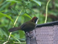 Chestnut-capped Brush-Finch - Buarremon brunneinucha