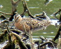 Short-billed Dowitcher. Photo by Greg Gillson