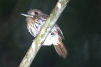 White-whiskered Puffbird. Photo by Barry Ulman. All rights reserved.