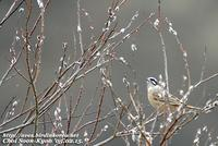 Fig. 22. Meadow Bunting : 멧새