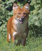 picture of a dhole Cuon Alpinus