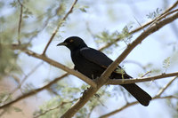 : Onychognathus nabouroup; Pale Winged Starling