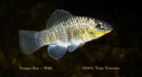 Floridichthys carpio, Goldspotted killifish: aquarium