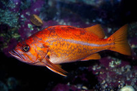 Sebastes pinniger, Canary rockfish: fisheries, gamefish, aquarium