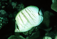 Chaetodon multicinctus, Pebbled butterflyfish: aquarium