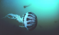 Pelagia panopyra - Purple-striped jellyfish