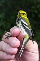 Image of: Dendroica virens (black-throated green warbler)