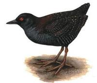 Image of: Laterallus jamaicensis (black rail)