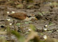 Northern Jacana - Jacana spinosa