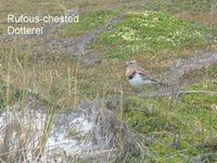 Rufous-chested Dotterel - Charadrius modestus