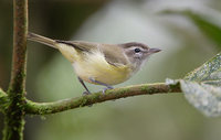 Brown-capped Vireo (Vireo leucophrys) photo