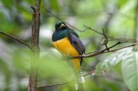 Black-throated Trogon - Trogon rufus
