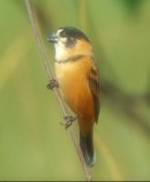 Rusty-collared Seedeater, Sporophila collaris