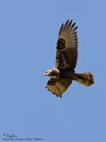 Eastern Marsh-Harrier (juvenile male)