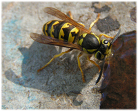 : Vespula pensylvanica; Western Yellowjacket Wasp
