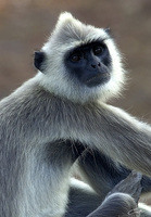 Semnopithecus priam    Tufted Gray Langur photo