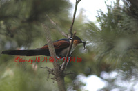 밤색날개뻐꾸기(Chestnut-winged Cuckoo)...