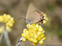 Satyrium esculi - False Ilex Hairstreak