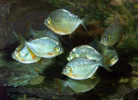 Pygopristis denticulata, Lobetoothed piranha: fisheries