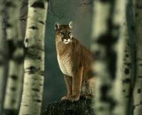 Image of: Puma concolor (cougar)