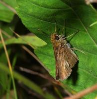Image of: Thymelicus lineola (European skipper)