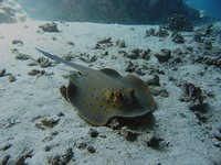 Taeniura lymma - Blue Spotted Fantail Stingray