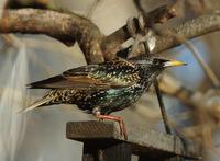 Image of: Sturnus vulgaris (European starling)