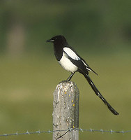 Black-billed Magpie (Pica pica) photo