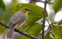 Yellow-throated Bulbul - Pycnonotus xantholaemus