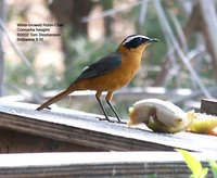 White-browed Robin-Chat - Cossypha heuglini