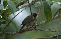 Bridled Honeyeater - Lichenostomus frenatus