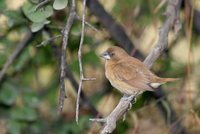 White-throated Munia - Euodice malabarica