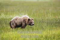 ...Coastal Brown Bear , ( Ursus arctos ) in the grass flats along the coast of Cook Inlet , Lake Cl