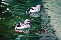 FT0181-00: Pigeon Guillemot in winter plumage, Black Guillemot in UK. The Arctic
