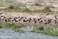 African skimmers on a beach along the Kazinga Channel
