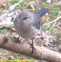 : Mimus polyglottos; Northern Mockingbird