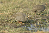 : Pternistis adspersus; Red Billed Francolin