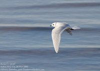 Ross's Gull, Salton Sea