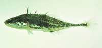 Apeltes quadracus, Fourspine stickleback: aquarium